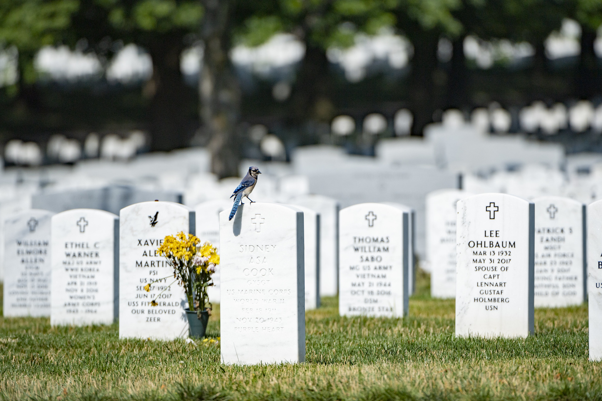 Bluejay sitting on headstone in section 60 of Arlington National Cemetery